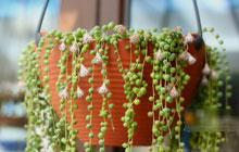 悬挂的风景 6种吊兰装扮浪漫阳台